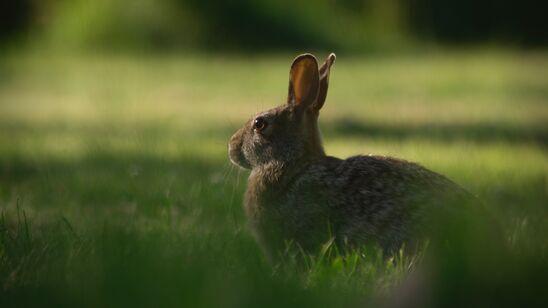 Der findes overraskende mange vilde dyr i Herlev, blandt andre harer.