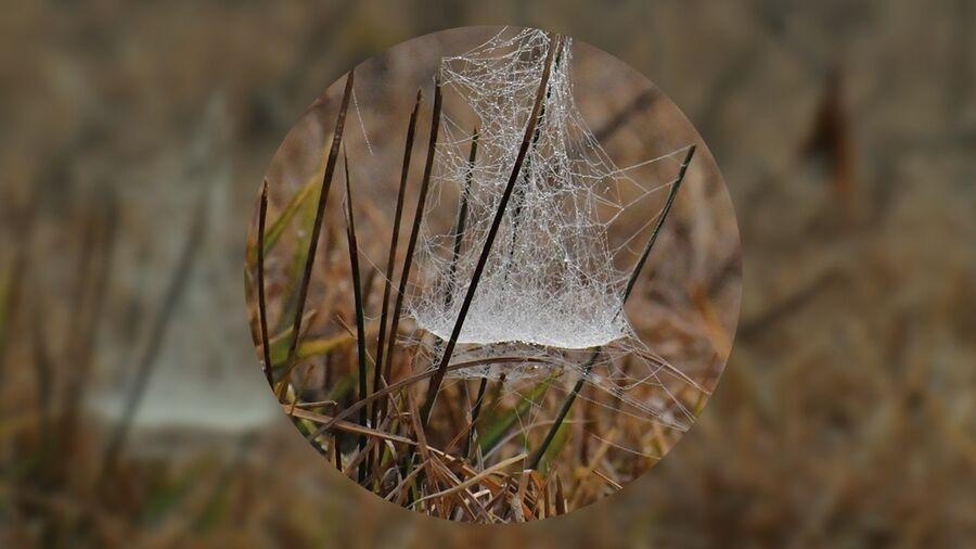Spindelvæv i hedens krat.