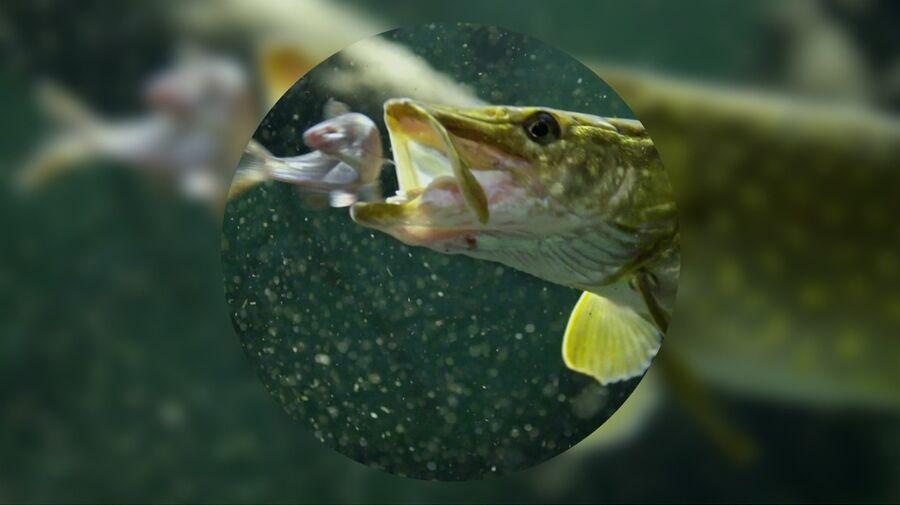 En fisk i grønligt vand på vej til at hapse en godbid.