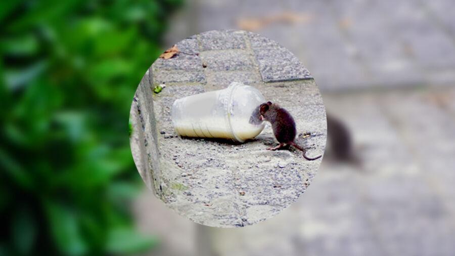 Naturen findes også i byen og er utroligt tilpasningsdygtig. Som denne rotte, der drikker af en efterladt milkshake.