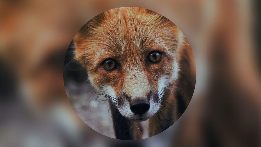 Nærbillede af ræv