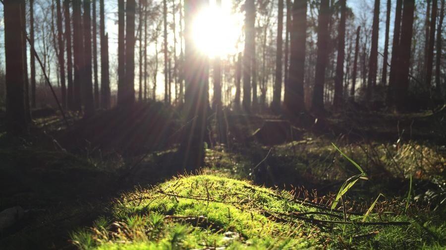Solens stråler trænger gennem skovens træer.